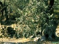 olivenbaueme-in-ligurien