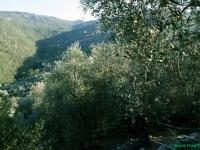 olivenhaine
